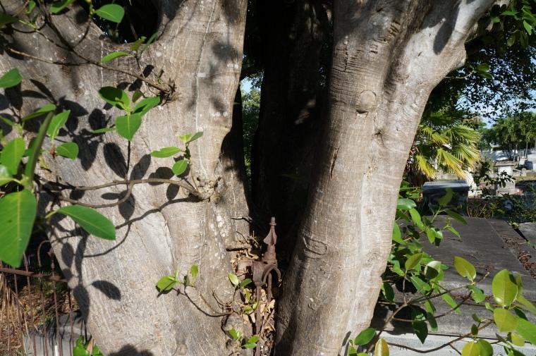 Tree grew around wrought iron ornament
